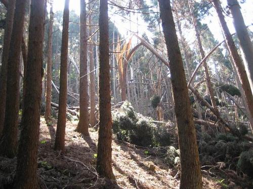 庐山上受雪灾损害的可怜树木