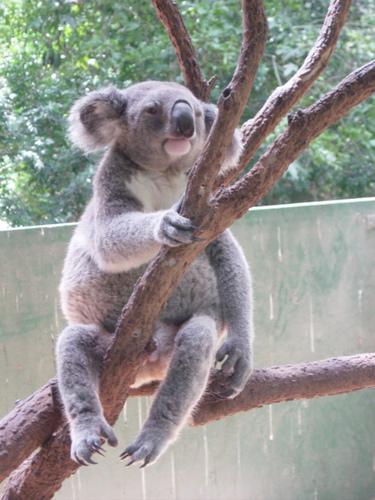 傻傻的Koala!