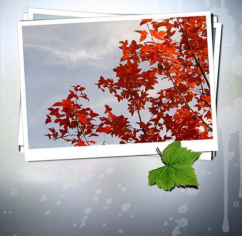 昆明植物园的枫叶