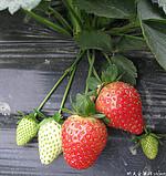 草莓采摘游记