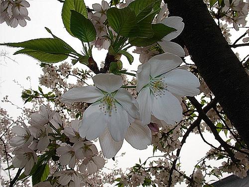 鸡鸣寺的樱花